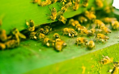 """Cheerios """"Save the bees"""" campaign backfires after company gives out seeds that are invasive, banned in some states"""