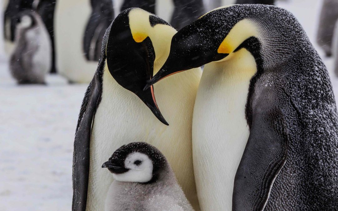 10 emperor penguin facts for World Penguin Day – in pictures