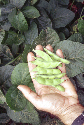 Edamame in the garden are flavorful and easy to grow