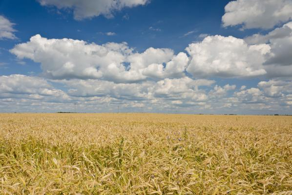 Fungus uses light to invade, attack wheat plants