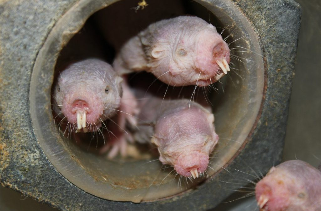 Naked mole-rats are now even weirder: Without oxygen, they live like plants