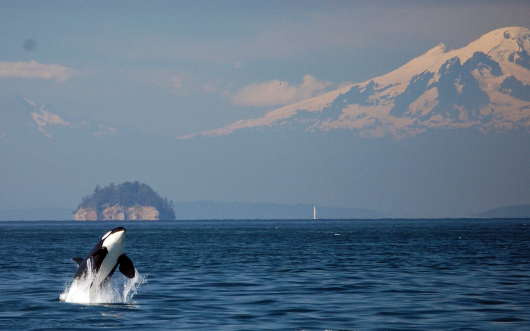 Need a Moment of Conservation Zen? We've Got Orca Sounds.