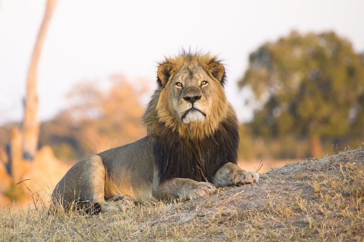 Trophy Hunter Kills Cecil The Lion's Son Outside National Park