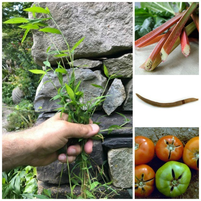 cracked tomatoes, growing rhubarb in hot spots, asian jumping worms, stiltgrass: q&a with ken druse