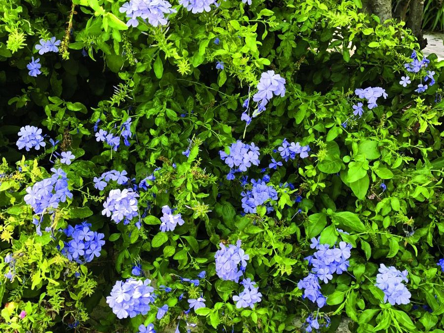 Great Gardening Central Texas: Plant plumbago for beautiful blue blooms