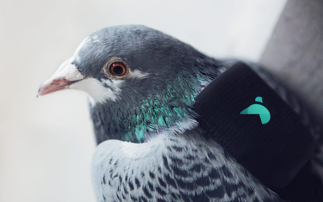 Pigeons track air pollution in London with tiny backpacks