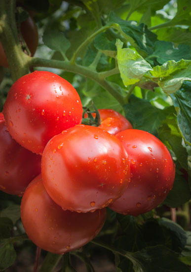 Heirloom Expert: Container Tomatoes