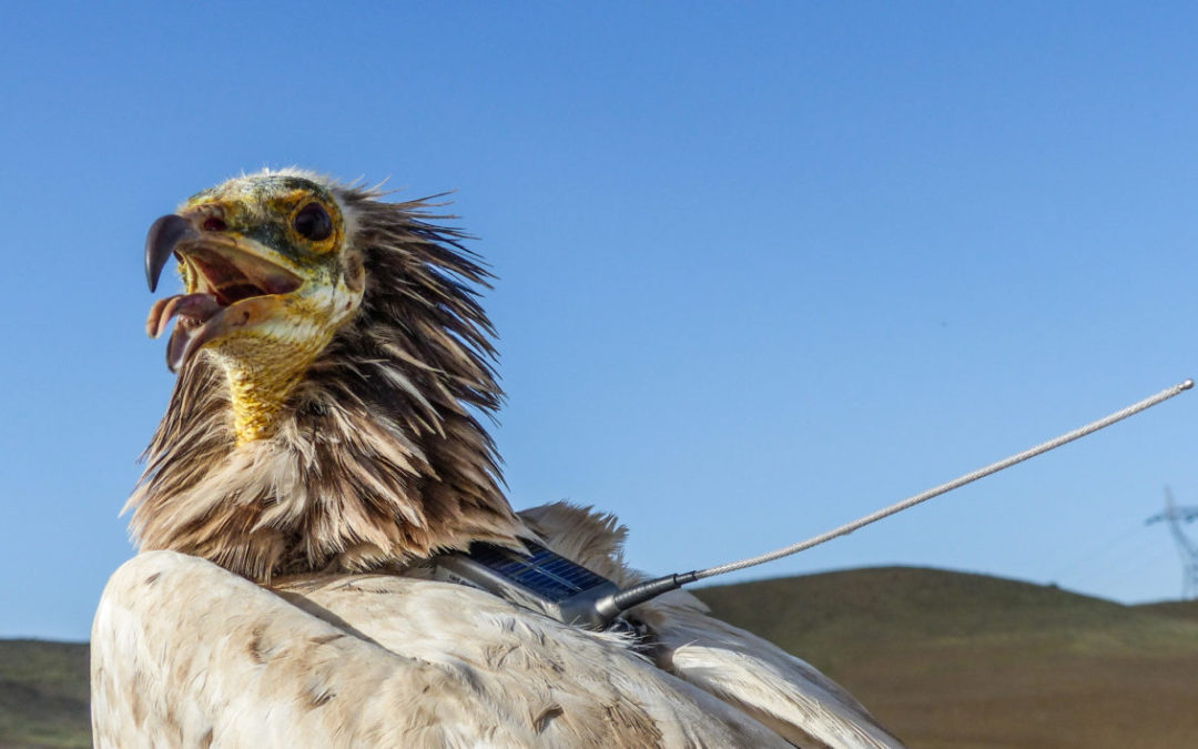 Poisoning Vultures Will Come Back to Bite Us