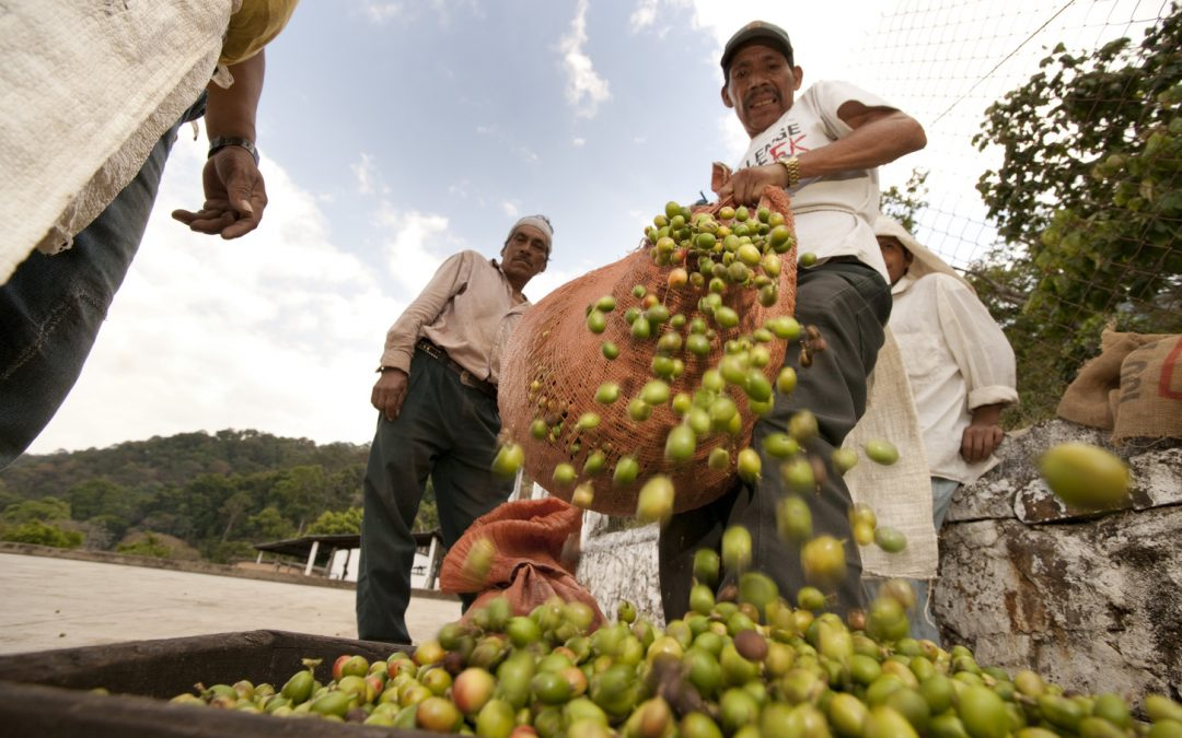 Unsustainable coffee? In the near future, it won't be an option
